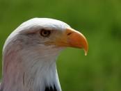 bald-eagle-free