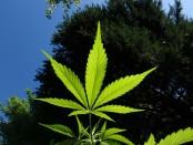 cannabis-1382955_960_720