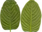 672px-Kratom_leafes