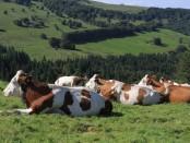 cows-1972285_960_720