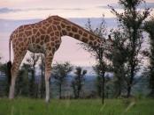 giraffe-2064229_960_720