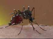 Orkin LLC Asian Tiger Mosquito
