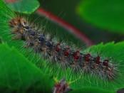 gypsy-moth-960562_960_720